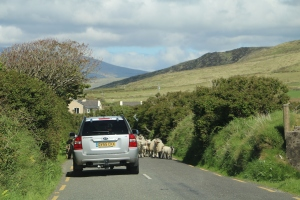 Looks like sheep are heading for us!