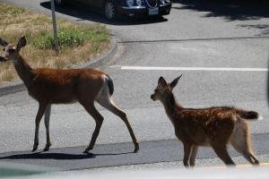 Deer crossing!