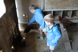 Boys removed freshly delivered eggs and fed the chickens!